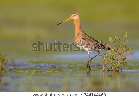 Black-tailed Godwit in grass Stock photo © ivonnewierink