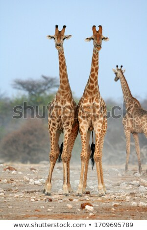 two giraffes in the kruger stock photo © simoneeman