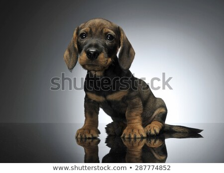lovely puppy dachshund sitting in a shiny table Stock photo © vauvau