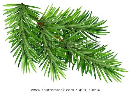 Zielone puszysty jodła sosny gałązka odizolowany Zdjęcia stock © orensila
