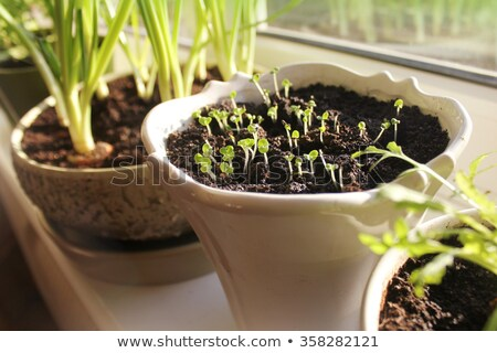 Young plants of onion and herbs growing in pots on windowsill Stock photo © Virgin