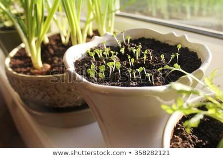 Genç bitkiler soğan otlar büyüyen pencere eşiği Stok fotoğraf © Virgin