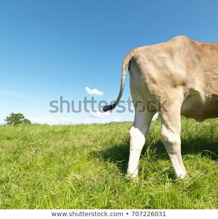 Foto d'archivio: Mucca · campo · vista · laterale · natura · farm