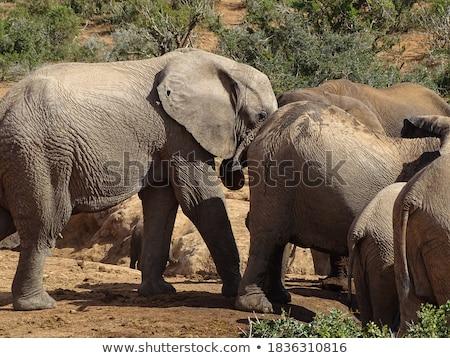 Elefante animales Sudáfrica naturaleza Foto stock © compuinfoto