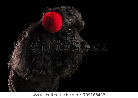 profile view of a poodles head wearing earmuffs stock photo © feedough