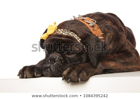 close up of cute lying boxer with leopard print headband Stock photo © feedough