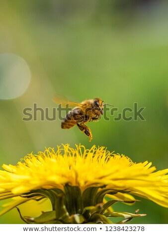Abelhas voador jardim de flores ilustração primavera fundo Foto stock © colematt