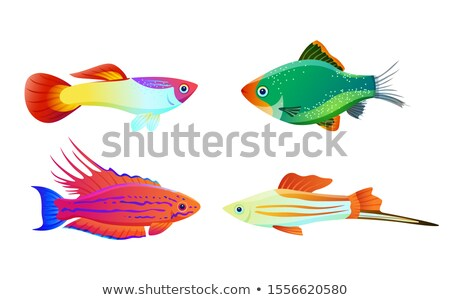 Filamented flasher wrasse and green tiger barb Stock photo © robuart