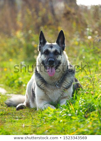 cute black and brown shepard dog lying Stock photo © feedough