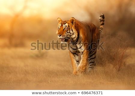 Tiger Dschungel Szene Illustration Natur Hintergrund Stock foto © bluering