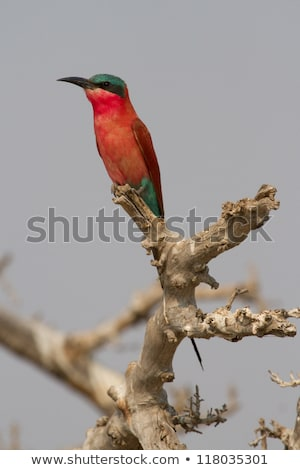 Southern carmine bee-eater sitting on a branch. Stock photo © simoneeman