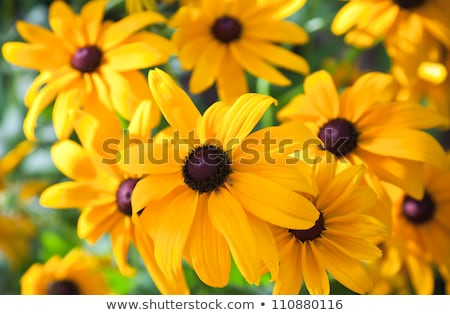 Bouquet of Black Eyed Susan yellow flowers on the grass Stock photo © AndreyKr