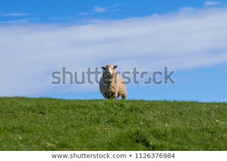 single sheep in blue sky Stock photo © gewoldi