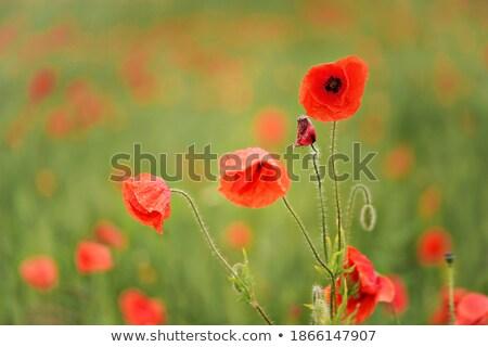 piros · pipacsok · kukoricamező · természet · kukorica · mezőgazdaság - stock fotó © artush