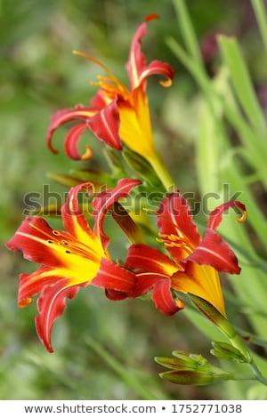 rosa · flor · isolado · folhas · verdes · jardim · dom - foto stock © boroda
