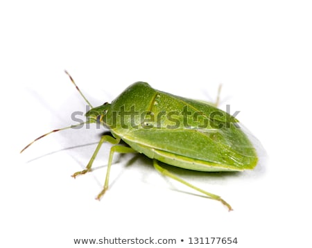 adult green stink bug acrosternum hilare stock photo © brm1949