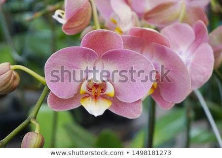 Beautiful Pink orchid - phalaenopsis Stock photo © inxti