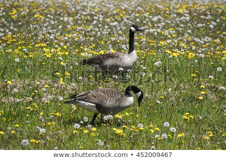 Pair of Canada Geese on Grass with Dandelions Stock photo © rhamm
