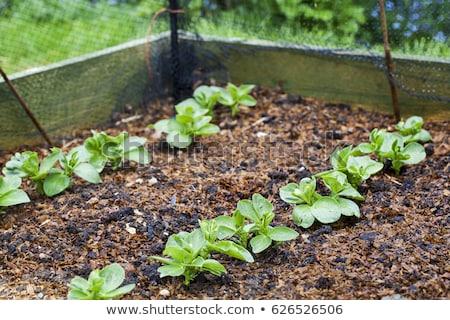Bean semis détail croissant noir Photo stock © naffarts