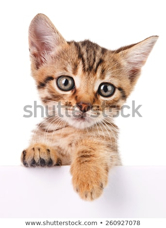 cute little cat over white stock photo © anettphoto