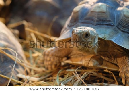 African Spurred Tortoise Stock photo © davemontreuil