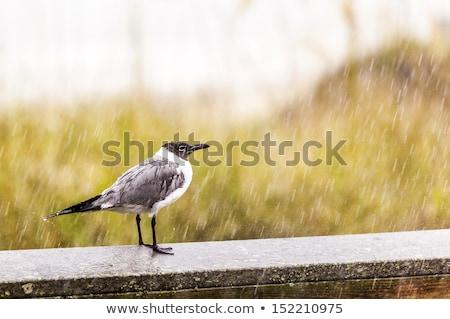 seagull in heavy rain stands on the pier Stock photo © meinzahn