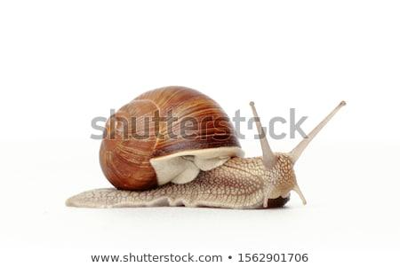 Snails [helix pomatia]  Stock photo © fanfo