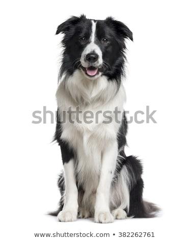 border · collie · chien · de · berger · isolé · blanche · chien · frontière - photo stock © eriklam