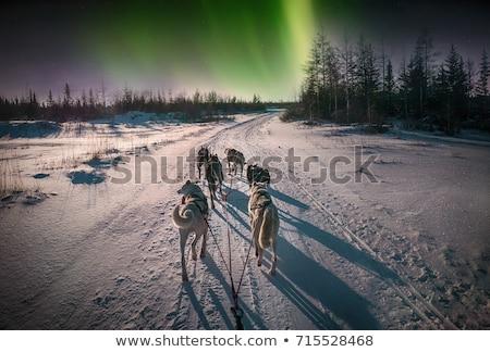 Husky kutya munka portré nyelv kívül Stock fotó © Elenarts