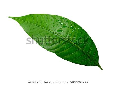 Zöld mangó levelek izolált fehér textúra Stock fotó © giko