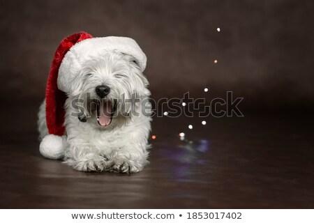 Stock photo: Yawning dog Christmas postcard