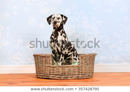 Dalmatian dog in wicker basket Stock photo © ivonnewierink
