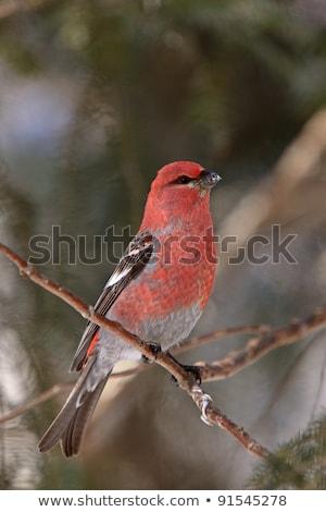 Vermelho pássaro pinho isolado ilustração projeto Foto stock © ConceptCafe