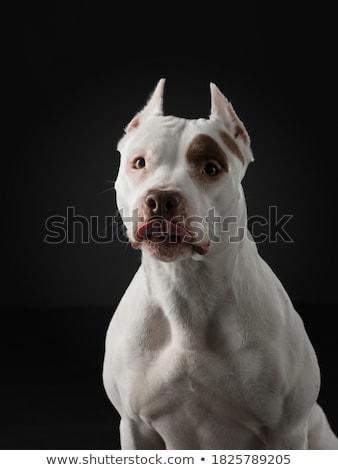 Stock fotó: Terrier · portré · sötét · stúdió · boldog · állat