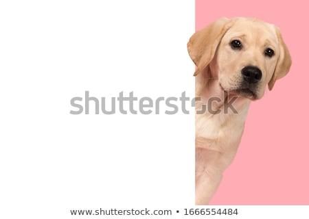 Stock photo: labrador retriever portrait in white studio