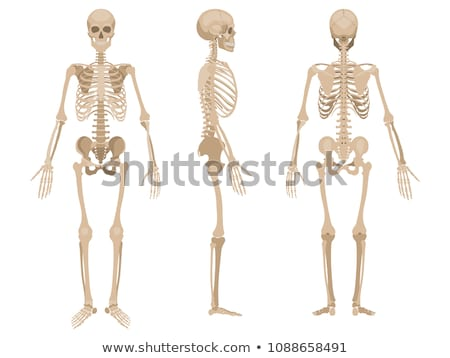 Human skeleton Stock photo © Tefi