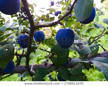 érett kék szilva kettő egész fél Stock fotó © Digifoodstock