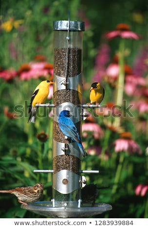 song sparrows at bird feeder stock photo © pictureguy