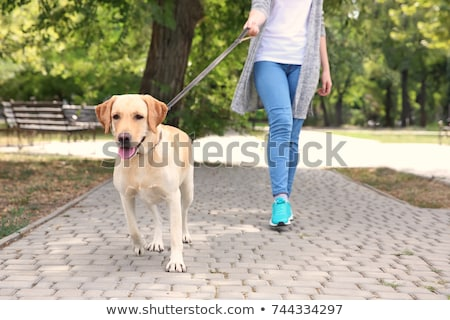 Labrador on a lead Stock photo © IS2