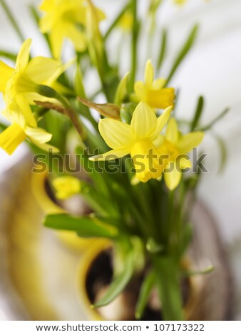 indoor daffodil in a pot  Stock photo © OleksandrO