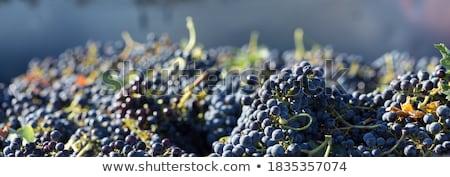 Videira uva balde ilustração vinho folha Foto stock © bluering