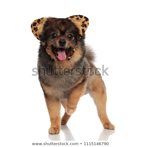 cut pomeranian dressed as leopard for halloween walking and pant Stock photo © feedough