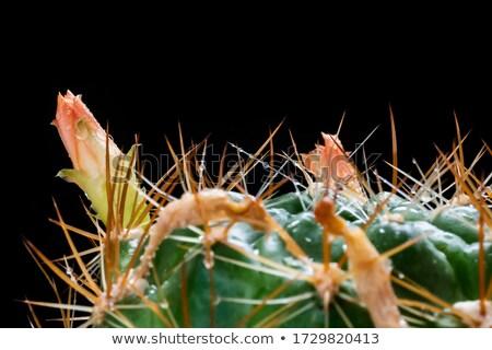 фото зеленый кактус розовый Сток-фото © bezikus