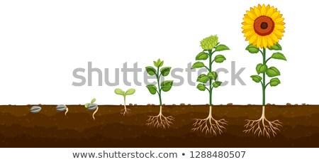 Planta crecimiento progreso flor hoja fondo Foto stock © colematt