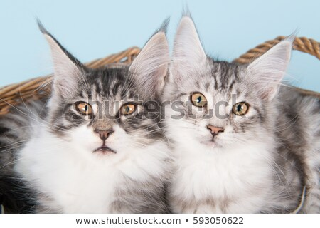 maine coon cat kitten laying in a basket stock photo © catchyimages