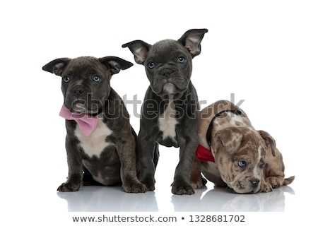 3 American bully dogs with pink and red bowties sitting Stock photo © feedough