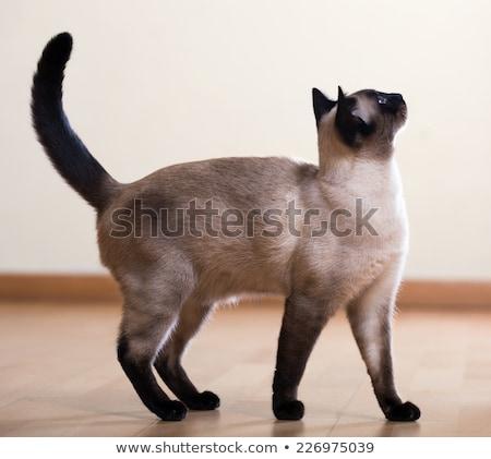 Felnőtt sziámi macska karácsony macska kapcsolat vicces Stock fotó © CatchyImages