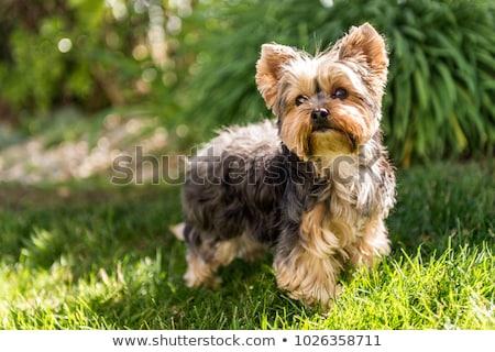 Retrato adorável yorkshire terrier isolado cinza Foto stock © vauvau
