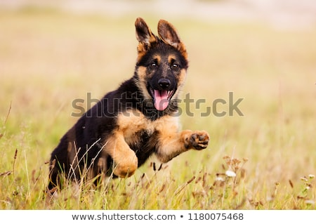 Puppy Dog Outdoors in the Grass Stock photo © tobkatrina