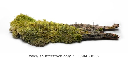 Musgo árvore verde naturalismo floresta natureza Foto stock © Arrxxx